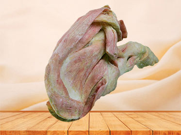 The anatomy of pig foreleg muscle plastinated specimen