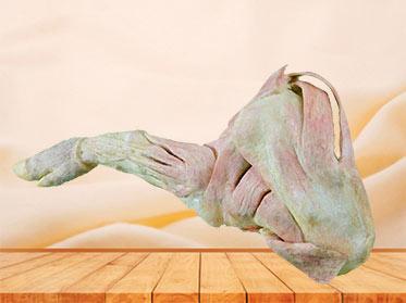 The anatomy of pig foreleg muscle plastination specimen
