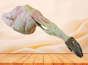 The single muscle of pig hind leg plastination specimen