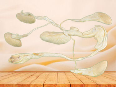 The urogenital system of pig plastinated specimen