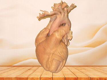Whole heart plastinated specimen