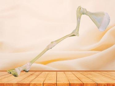 anterior limb joint of sheep plastinated specimen