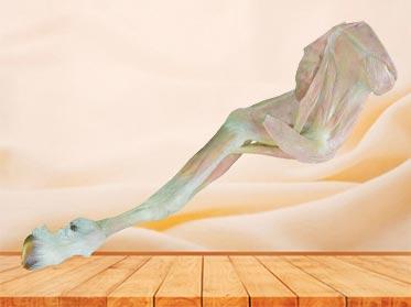 anterior limb muscle of sheep