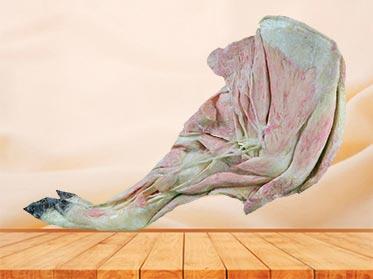 anterior limb vessels and nerves of pig specimen