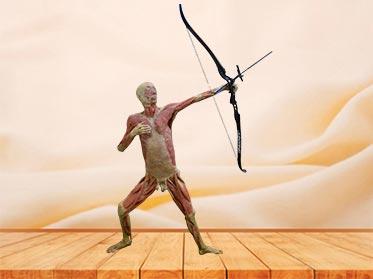 archery plastinated specimen