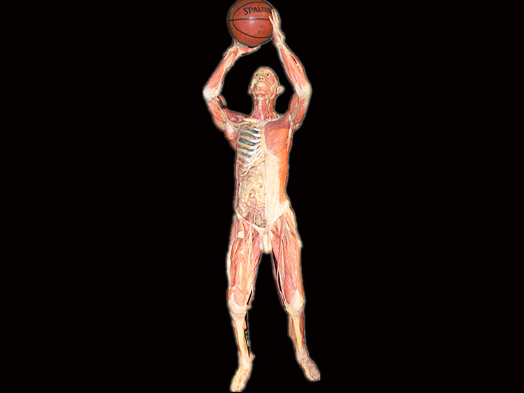 basketball shooting plastinated specimens