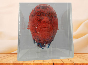 blood vessels of head and neck teaching casting specimen