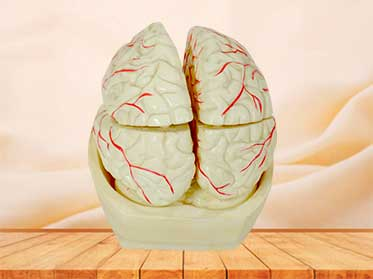 brain and brain artery anatomy model