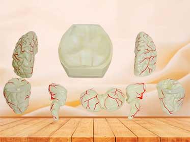 brain and brain artery model