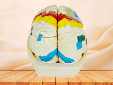 brain cortex model