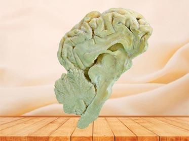 brain hemisphere of sheep