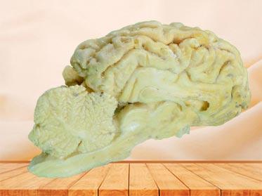 brain hemisphere of sheep medical teaching specimen