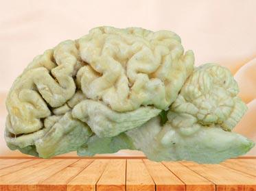 brain hemisphere of sheep plastinated specimen