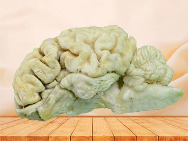 brain hemisphere of sheep plastination