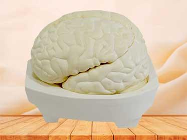 brain medical model