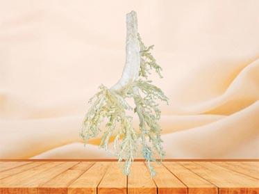 bronchial tree of cow