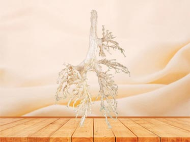 bronchial tree of cow plastinated specimen