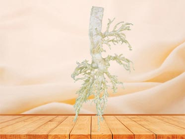 bronchial tree of cow teaching specimen plastination