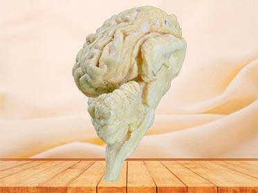 cattle  brain hemisphere