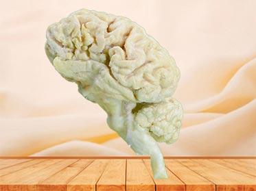cattle  brain hemisphere specimen