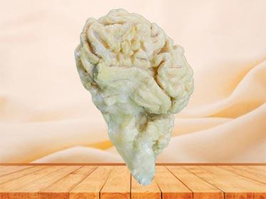 cattle  brain hemisphere specimen plastination