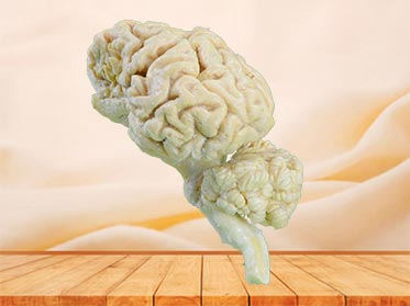 cattle  brain hemisphere teaching specimen