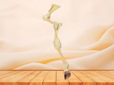 cattle anterior limb joint plastinated specimen