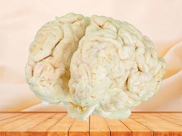 cattle brain specimen plastination
