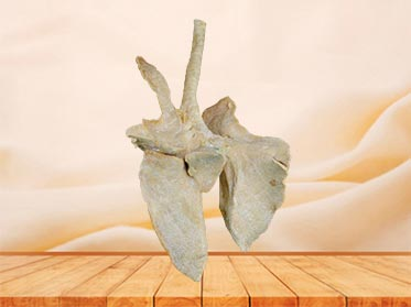 cattle lung plastinated specimen