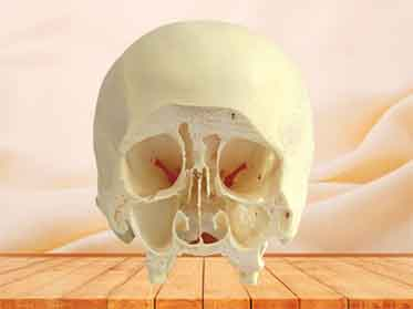 coronal section of skull