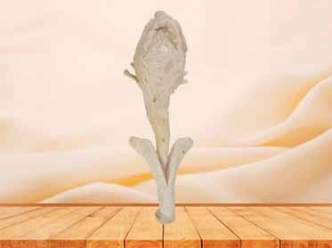 corpus cavernosum penis
