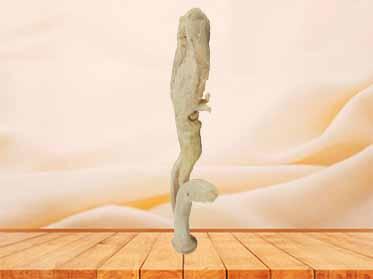 corpus cavernosum penis human specimen