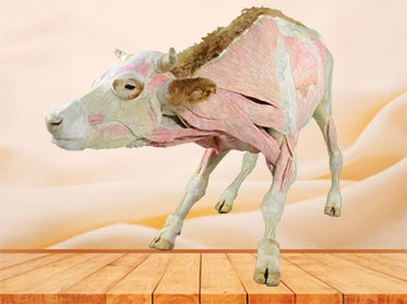 cow plastinated specimen