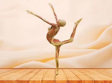 dance lady plastinated specimen