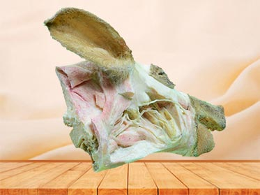 deep vessels and nerves of pig head