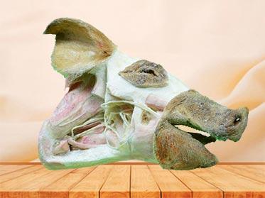deep vessels and nerves of pig head teaching specimen
