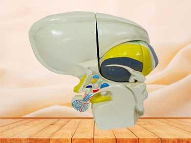 diencephal model