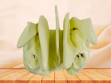 ethmoid bone model
