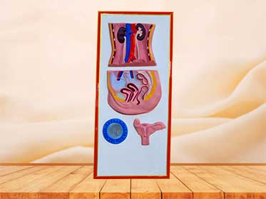 female urinary system relief model