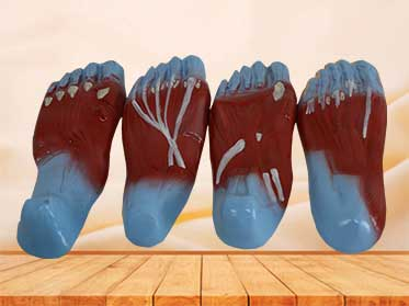 foot sole muscle anatomy model