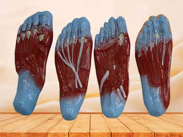 foot sole muscle model