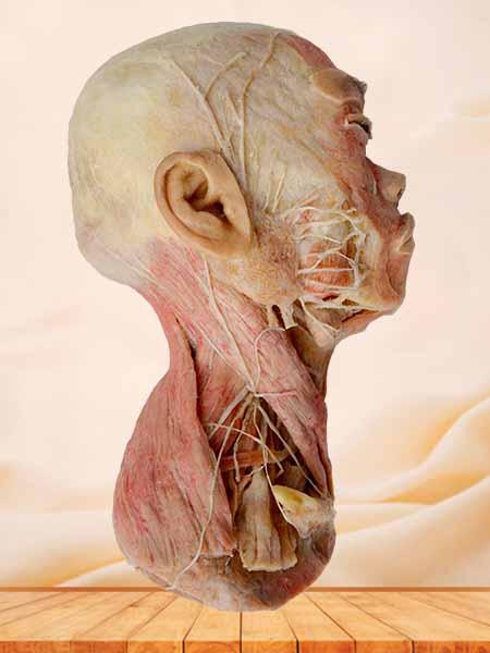Half head muscle plastinated specimen