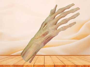 hand muscle plastinated specimen