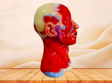 head and neck anatomical model