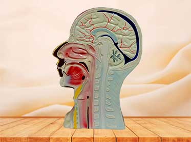 head and neck model