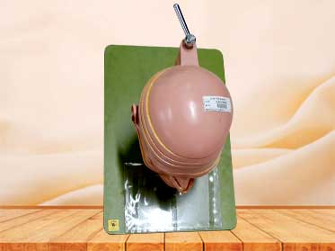 head and neck section model
