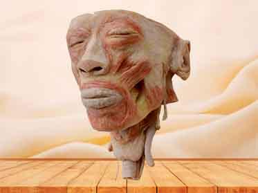 head with pharynx plastinated specimen