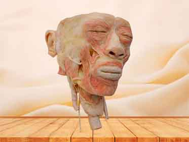 head with pharynx specimen