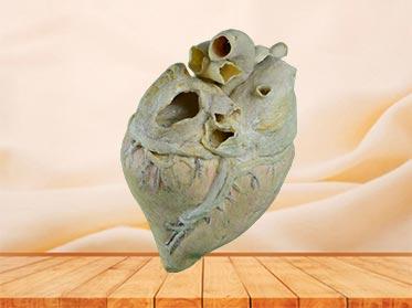 heart blood vessel of cow