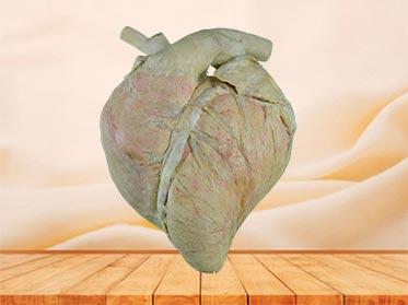 heart blood vessel of cow plastination